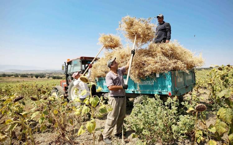 Bursa Nilüfer'de yerli tohumdan doğal nohut hasadı